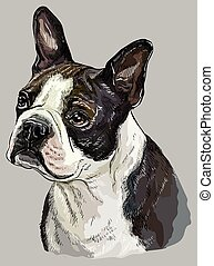 Boston terrier colorful vector hand drawing portrait