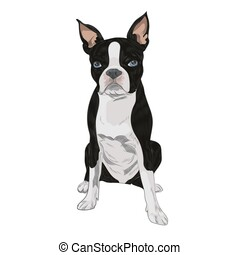 Boston Terrier dog breed isolated on white background.