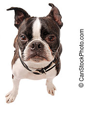 Boston Terrier Dog Close-up - Cute Boston Terrier dog...