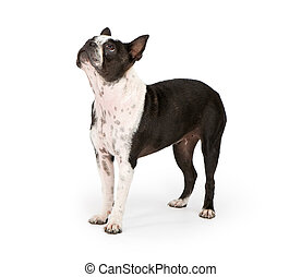 Boston Terrier Dog Looking Up - Boston Terrier dog looking...
