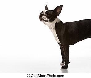 Boston Terrier dog.