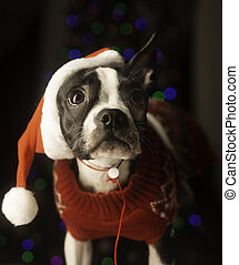 Boston Terrier Dressed up for Christmas