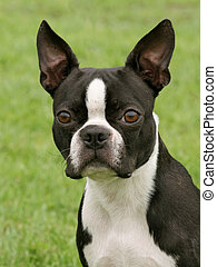 Boston Terrier on the green grass