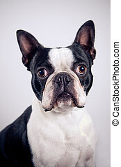 Boston terrier portrait on simple background