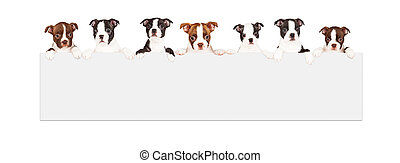Boston Terrier Puppies Over Blank Sign