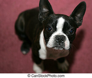 Boston Terrier Puppy - Boston Terrier puppy looking up