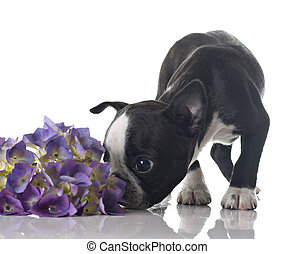 Boston terrier puppy - Funny Boston Terrier puppy sniffing ...