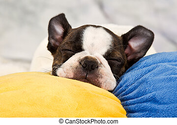 boston terrier, puppy, slaap
