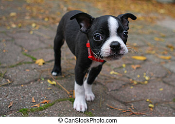 Boston Terrier Puppy standing close-up of face