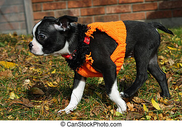 Boston Terrier Puppy walking in afternoon sun
