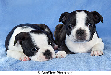 Boston terrier pups - A portrait of two 7 week old female...