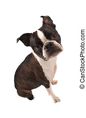 Boston Terrier Sitting - Purebred Boston Terrier Dog Sitting...