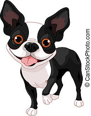 Boston Terrier, standing in front of white background