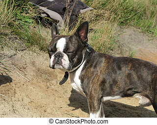 Boston terrier standing in sand