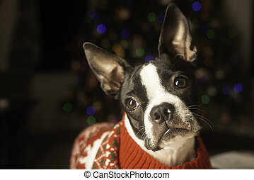 Boston Terrior Puppy Dressed Up for Christmas