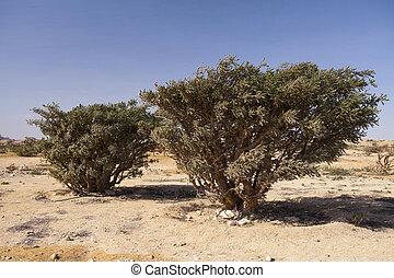 boswellia, sacra