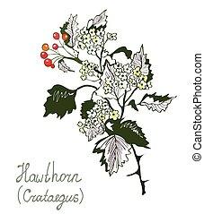 botánica, herbario, o, howthorn, crataegus, ilustración, medicine.