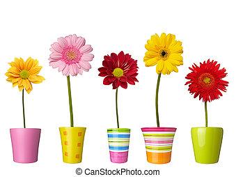 botánica, jardín, naturaleza, olla, margarita, flor