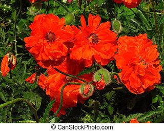 botánica, primer plano, nombre, rhoeas, otro, amapola,...