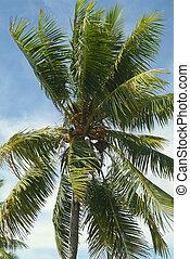 botanica, albero noce cocco