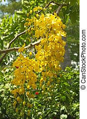 botanica, cassia