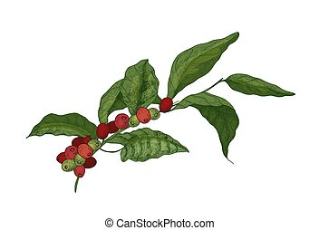 Botanical drawing of Coffea or coffee tree branch with...