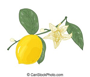 Botanical drawing of lemon tree branch with flowers, buds and leaves isolated on white background. Fresh raw yellow citrus fruit. Natural vector illustration hand drawn in elegant antique style.