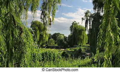 Botanical garden - Weeping willow in the park.