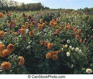 Botanical garden full of dahlia