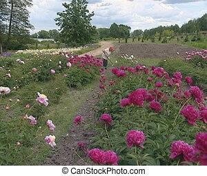Botanical garden of blossom peony