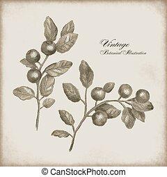 Botanical illustration of a sprig of berries