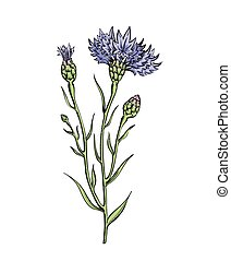 Botanical illustration of cornflower