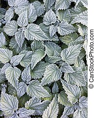 Botanical texture background. Nettle frosen leaves in hoarfrost