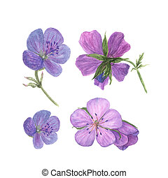 Botanical watercolor illustration of lilac geranium flowers isolated on white background