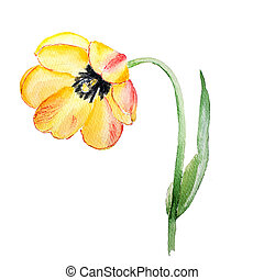 Botanical watercolor illustration sketch of yellow red tulip flower on white background
