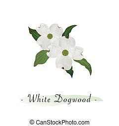 botanico, giardino fiore, colorito, cornus, florida, struttura, acquarello, vettore, dogwood, bianco
