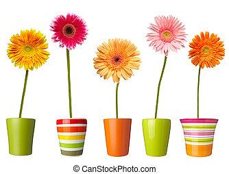 botanik, blumengarten, natur, topf, gänseblumen, blüte