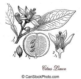 botanik, zitronenbaum, stich, weinlese