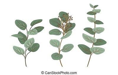 botanique, feuilles, vecteur, set., branches, eucalyptus, éléments conception