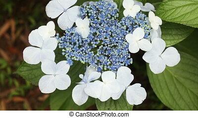 botanique, hortensia, macrophylla, jardin