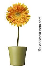 botanique, jardin fleur, nature, pot, pâquerette, fleur