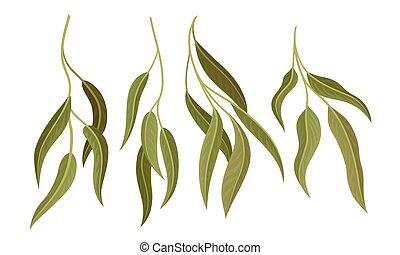 botanique, saule, feuilles, vecteur, branches, set., eucalyptus, éléments conception