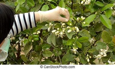 Botanist studying at mandarin tree