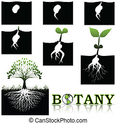Botany - Illustration of tree growth in stages from seed to...