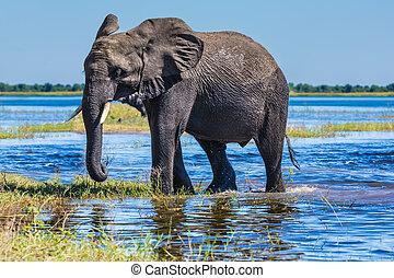 African elephant - loner