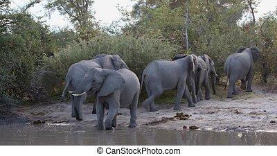 botswana, vie sauvage, éléphant, africaine, moremi, safari