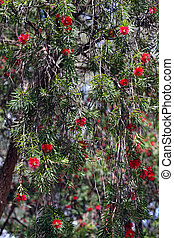 bottelbrush, árbol