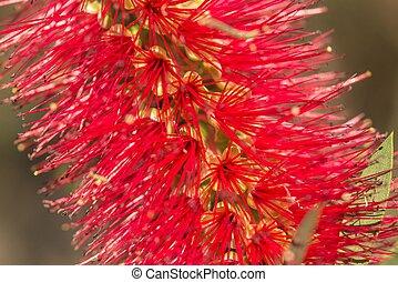 Bottle brush - Callistemon rigidus, native flower, Sydney, ...