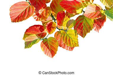 Bottle Brush fothergilla leaves - Branch of Autumn bottle ...