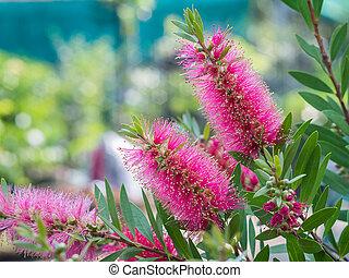 Bottle brush tree and flower